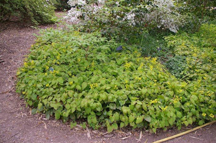ein kleiner gartenweg und viele kleine gelbe epimedium elfenblumen mit grünen blättern, einen garten gestalten, bodendecker pflanzen