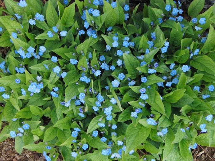 frühlings-nabelnüsschen omphalodes verna, viele kleine blaue blumen mit vielen grünen blättern, einen garten gestalten