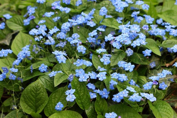 frühlings-nabelnüsschen omphalodes verna, viele kleine blaue bodendecker pflanzen mit vielen grünen blättern, einen garten gestalten