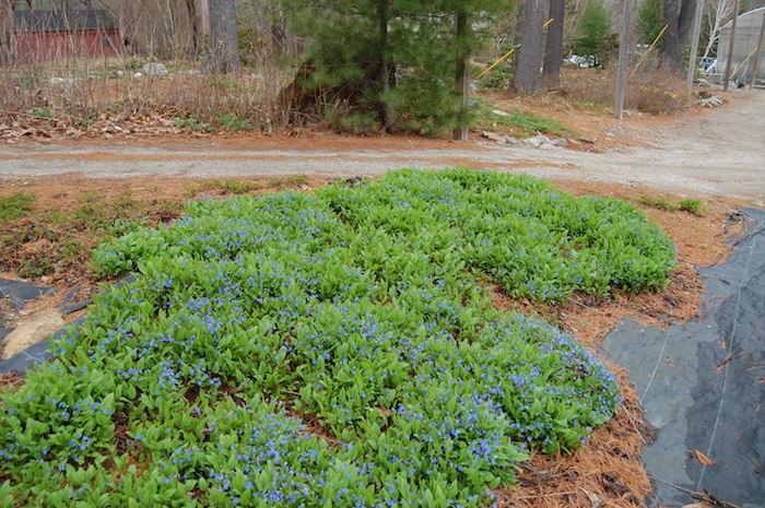 ein garten mit bäumen, einem gartenweg und vielen kleinen blauen bodendecker pflanzen, frühlings-nabelnüsschen omphalodes verna mit grünen blättern, bodendecker schatten