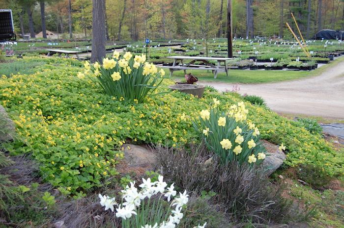 waldsteinia ternata viele gelbe dreiblättrige waldsteinie blumen, ein garten mit steinen und bänken aus holz und bäumen, weiße und gelbe blumen, bodendecker schatten
