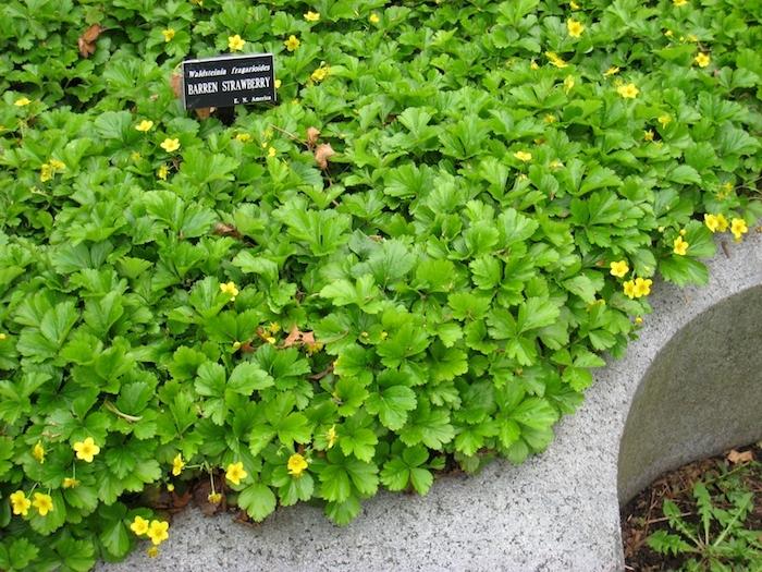 waldsteinia ternata bodendecker pflanzen, viele kleine gelbe bodendecker pflanzen mit grünen blättern, einen kleinen garten gestalten, bodendecker schatten