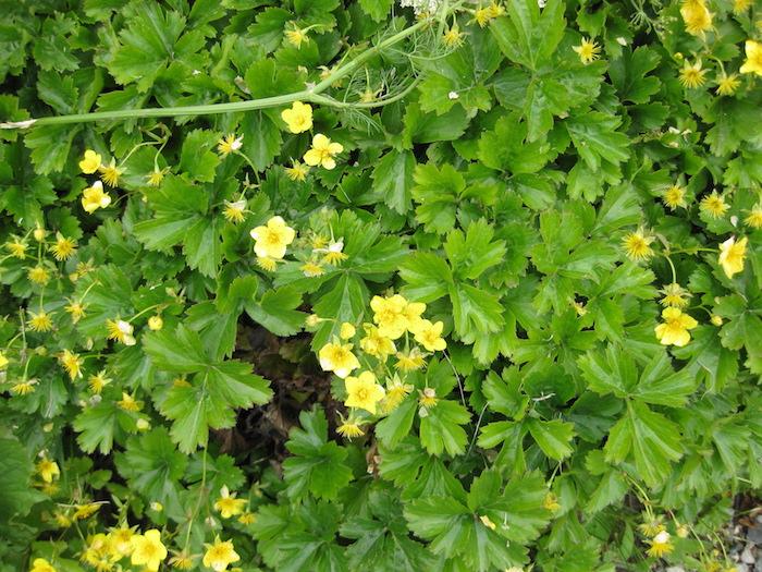 Waldsteinia fragarioides, viele kleine gelbe bodendecker pflanzen mit grünen blättern, blhende bodendecker, garten ideen