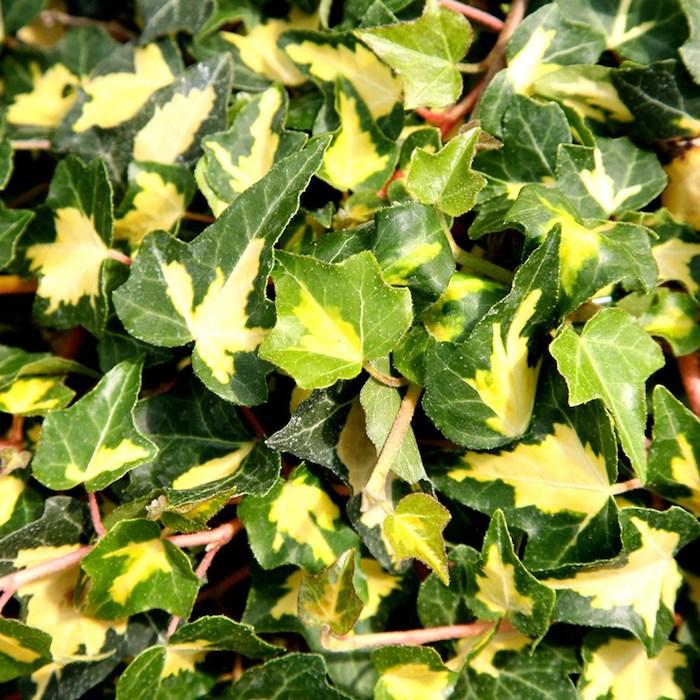 gewöhnlicher efeu helix hedera, viele kleine grüne und gelbe blätter, einen garten gestelden, bodendecker pflanzen