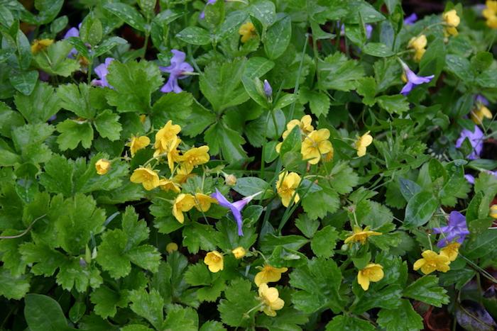 Waldsteinia fragioides, ein kleiner garten mit vielen gelben und violetten kleinen blumen mit grünen blättern, bodendecker schatten, garten ideen