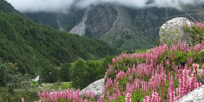 viele graue wolken und berge mit grünen bäumen mit grünen blättern und gesteinen, bodendecker pflanzen Teppich-Knöterich, viele kleine violette blumen mit grünen blättern