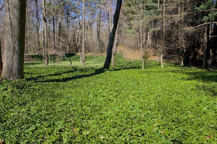 pachysandra ein garten mit vielen blumen, japanischer ysander mit grünen blättern, bodendeker sonne, viele bäume und ein blauer himmel