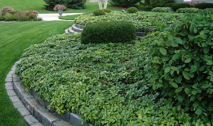 eiun garten mit einem grünen gras und mit grauen gartenwegen, viele kleine grüne bodendecker pflanzen, japanischer ysander, bodendecker immergrün