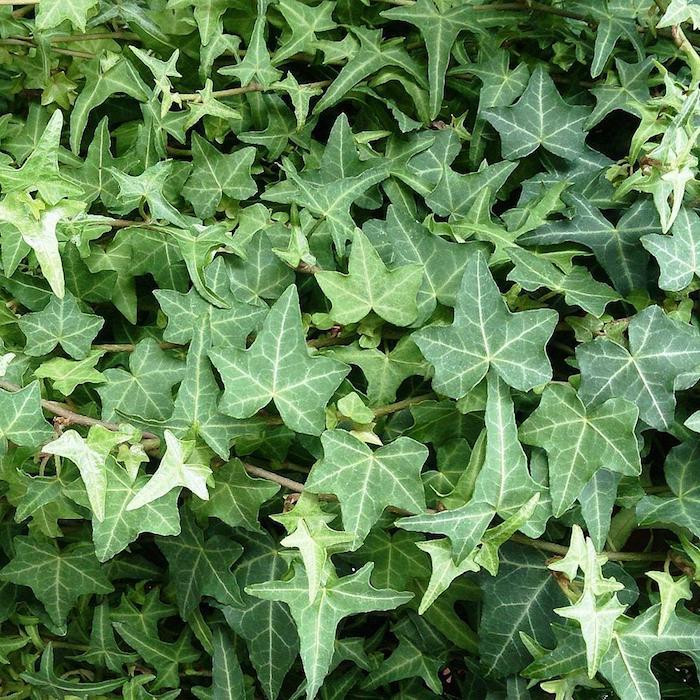 helix hedera gewöhnlicher efeu, einen garten gestalten, viele kleine grüne blätter, bodendecker schatten