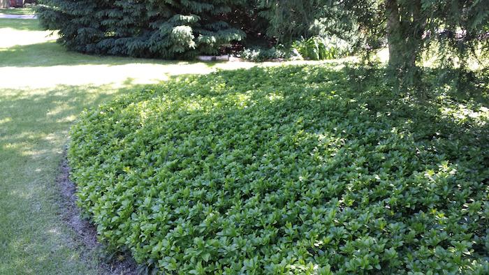 ein garten mit einem baum und mit einem grünen gras, japanischer Ysander mit vielen kleinen grünen blättern, bodendecker schatten