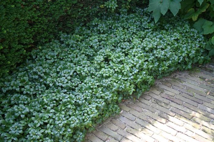 ein gartenweg und viele kleine grüne bodendecker pflanzen mit grünen blättern, ein japanischer ysander pachysandra