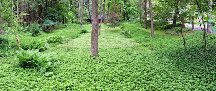 ein garten mit vielen kleinen grünen bodendecker pflanzen, pachysander japanischer ysander mit grünen blättern, einen garten gestalten ideen