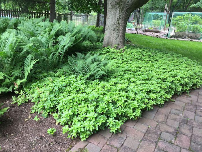 ein baum und viele grüne bodendecker pflanzen ysander mit grünen blättern und ein gartenweg, garten ideen, bodendecker im schatten