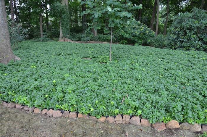 ein garten mit bäumen mit grünen blättern und steinen, japanischer ysander mit grünen blättern, einen garten gestalten, bodendecker immergrün