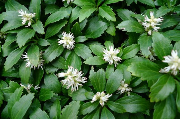 bodendecker immergrün, viele weiße blumen japanischer ysander mit grünen blättern, gartengestaltung ideen