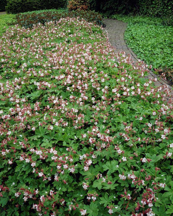 ein gartenweg aus grauen steinen, viele kleine weiße immergrüne bodendecker pflanzen, balkan storchschnabel mit grünen blättern