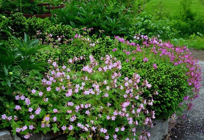 violette und pinke bodendecker pflanzen mit immergrünen pflanzen, ein gartenweg und balkan storchschnabel