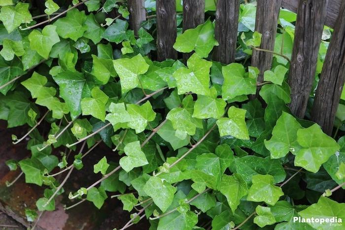 viele kleine grüne blätter, gewöhnlicher efeu helix hedera und eine pforte aus holz, gartengestaltung ideen