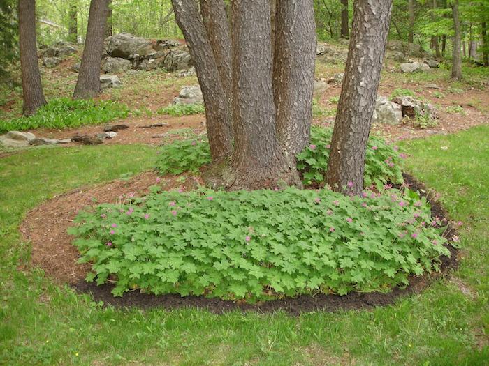 bäume und ein garten mit einem grünen gras und mit balkan storchschnabel, bodendecker immergrün, pflanzen mit grünen blättern