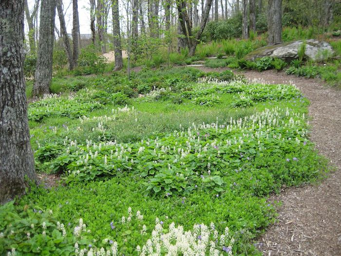 tiarella cordifolia, ein garten mit einem kleinen gartenweg und mit bäumen und vielen kleinen weßen bodendecker pflanzen, bodendeckar grün