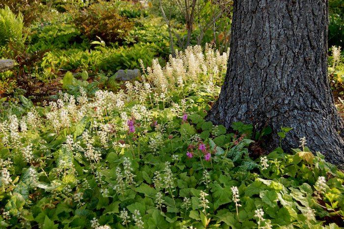 ein baum und viele kleine weiße tiarella cordifolia immergrüne bodendecker pflanzen mit grünen blättern und stielen und kleine violette blumen, einen kleinen garten gestalten ideen, bodendecker sonne