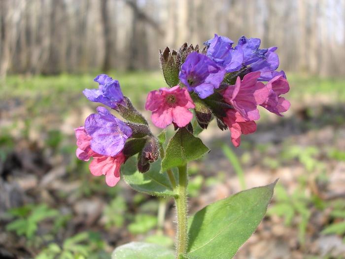 ein geflecktes lungenkraut, ein wald mit bäumen und eine kleine violette bodendecker pflanze mit grünen blättern und einem grünen stiel