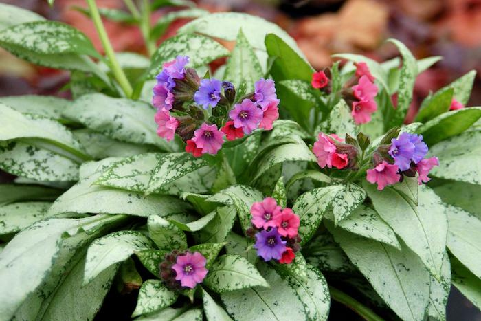 violette und pinke pulmonaria bodendecker blumen mit großen grünen blättern, einen garten gestalten mit violetten blumen