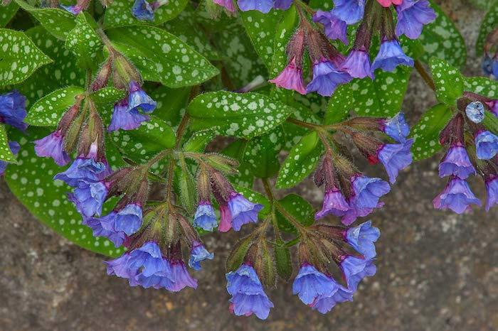 kleine violette und pinke pulmonaria officinalis bodendecker pflanzen mit großen grünen blättern, bodendecker immergrün, einen garten gestalten