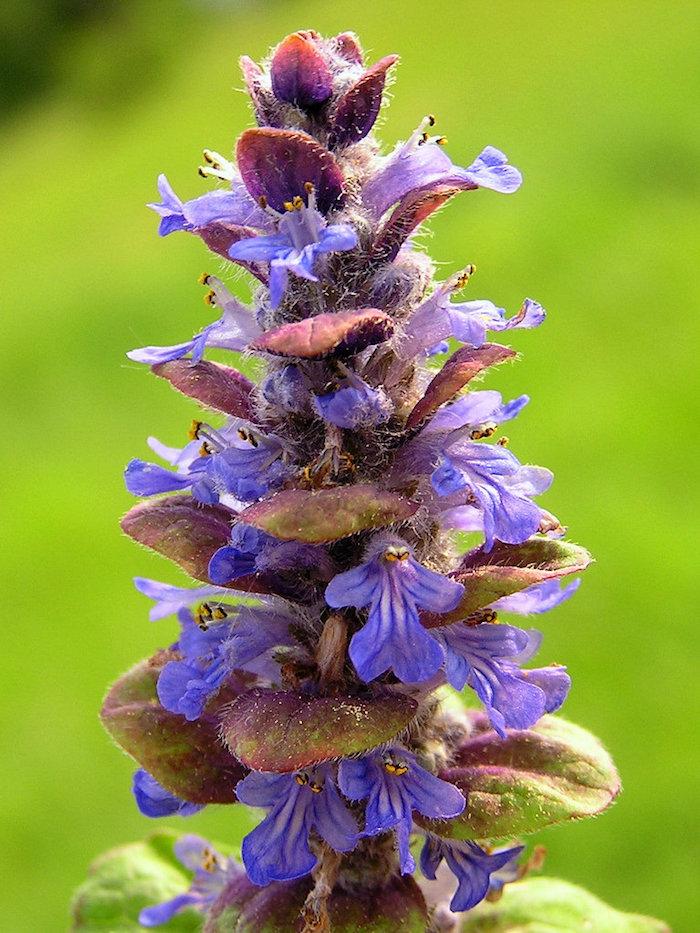 kriechender günsel ajuga reptan mit vielen kleinen violetten blättern, gartengestaltung ideen, eine violette blume, bodendecker pflanzen