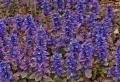 Bodendecker im Schatten – die besten Pflanzen für schattige Standorte