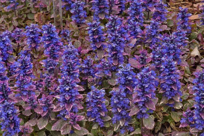 viele kleine violette bodendecker pflanzen, ein kriechender günsel ajuga reptans, einen garten mit bodendecker pflanzen, bodendecker schatten