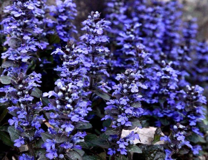 viele kleine violette blumen kriechender günsel ajuna reptans, einen garten gestalten, viele kleine bodendecker pflanzen