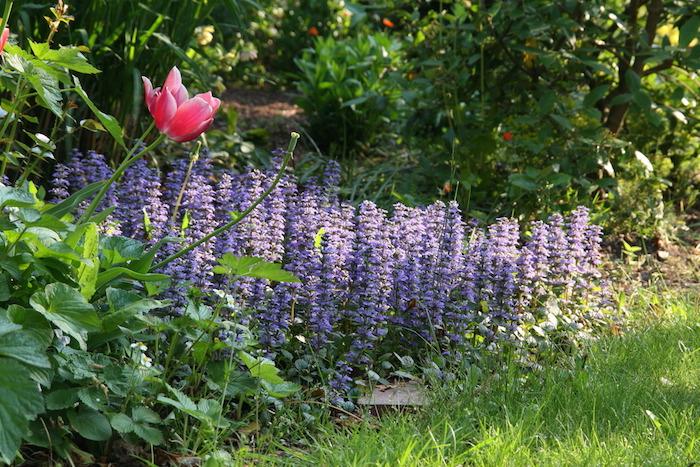 kriechender günsel ajuga reptans, eine violette blume mit grünen blättern, ein garten mit bäumen, bodendecker pflanzen