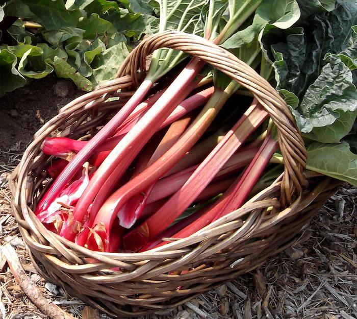 ein garten mit wurzeln und einem braunen korb aus holz, rhabarber ernten, ein brauner korb mit vielen roten rhabarber pflanzen mit großen grünen blättern