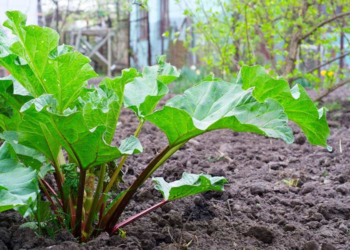 rhabarber ernten, ein garten mit langen roten rhabarber pflanzen mit großen grünen blättern, wie lange kann man rhabarber ernten
