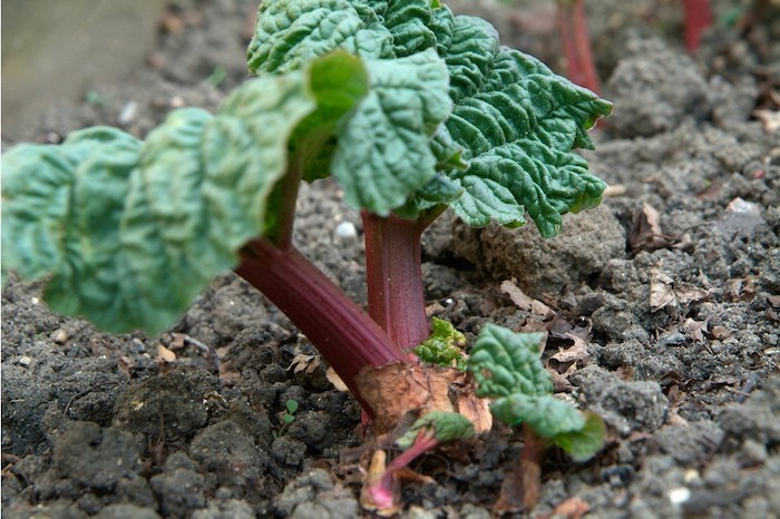 wie lange kann man rhabarber ernten, ein karten mit kleinen roten rhabarber pflanzen mit grünen blättern, rhabarber erntzeit
