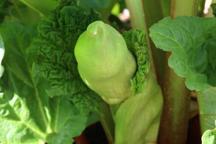 grüne rhabarber pflanzen mit großen grünen blättern, garten mit rhabarber gartenpflanzen, rhabarber blüht
