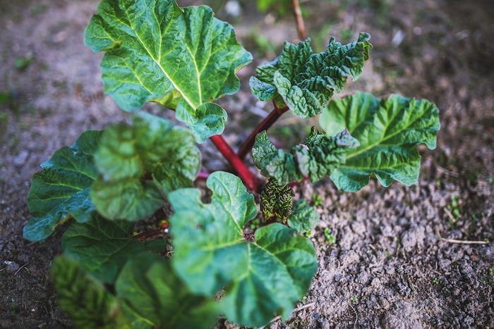 garten mit kleinen roten rhabarber pflanzen mit grünen blättern, rhabarber pflanzen ernten, gartengestaltung