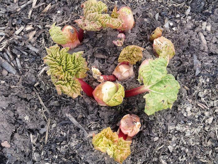 garten mit kleinen und großen roten rhabarber pflanzen mit grünen blättern, wie lange kann man rhabarber ernten, rhabarber schälen