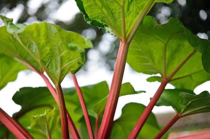 ein baum mit grünen blättern, ein garten mit langen roten rhabarber pflanzen mit großen grünen blättern, rhabarber erntzeit