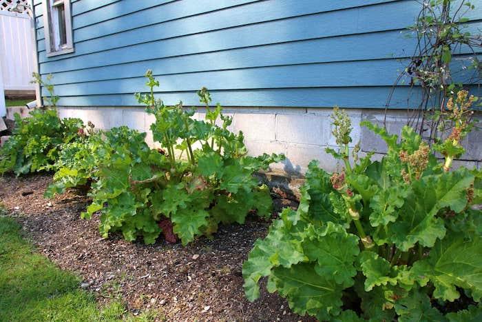 ein blaues haus mit einem fenster, rhabarber blüht, ein garten mit vielen grünen rhabarber pflanzen mit großen grünen blättern, rhabarber saison