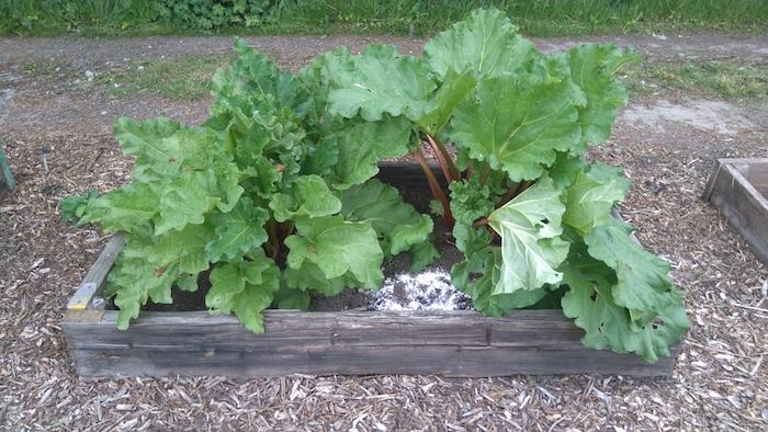 hochbeet mit roten rhabarber pflanzen mit großen grünen blättern, ein garten mit rhabarber, ein hochbeet aus holz, rhabarber erntzeit