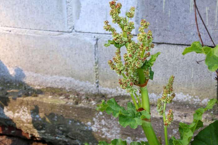 rhabarber blüht, eine graue wand mit steinen, ein garten mit großen grünen rhabarber pflanzen mit grünen blättern