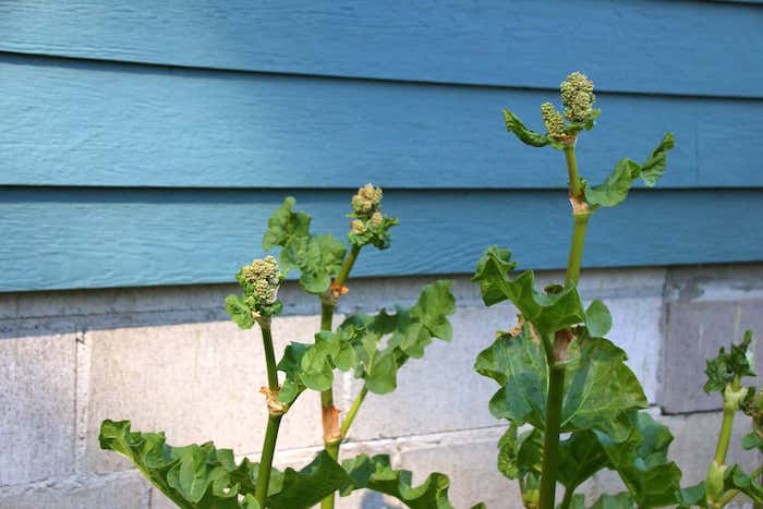 ein haus mit einer blauen wand aus holz und mit steinen, rhabarber blüht, rhabarber pflanzen mit großen grünen blättern, wie lange kann man rhabarber ernten