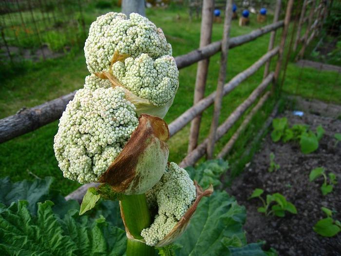 rhabarber blüht, ein garten mit großen grünen rhabarber pflanzen mit grünen blättern, rhabarber saison