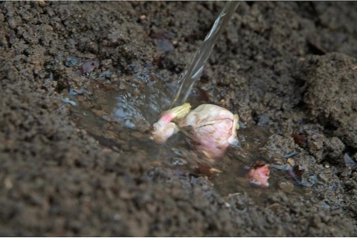 wasser und ein garten mit kleinen roten und weißen rhabarber pflanzen, rhabarber saison, rhabarber roh essen