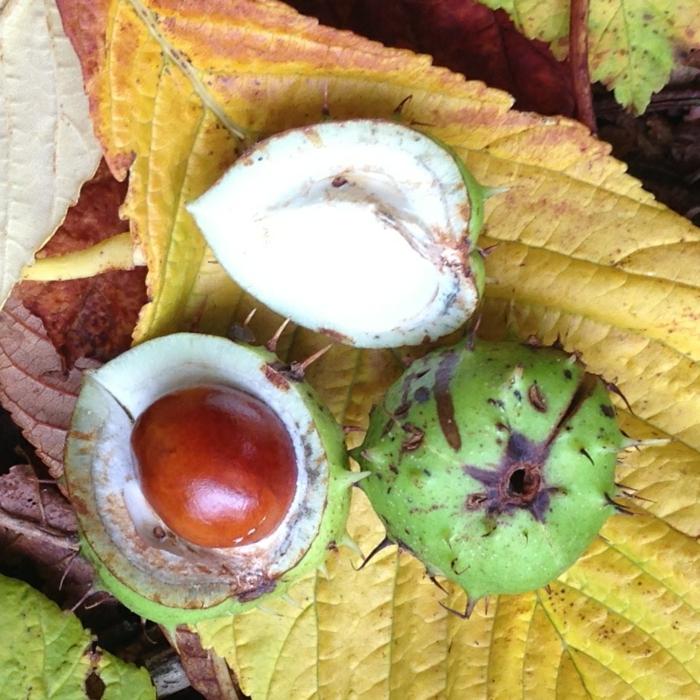 Kastanien in den Fruchtbecher im Laub, die Materialien für Bastellideen mit Kastanien