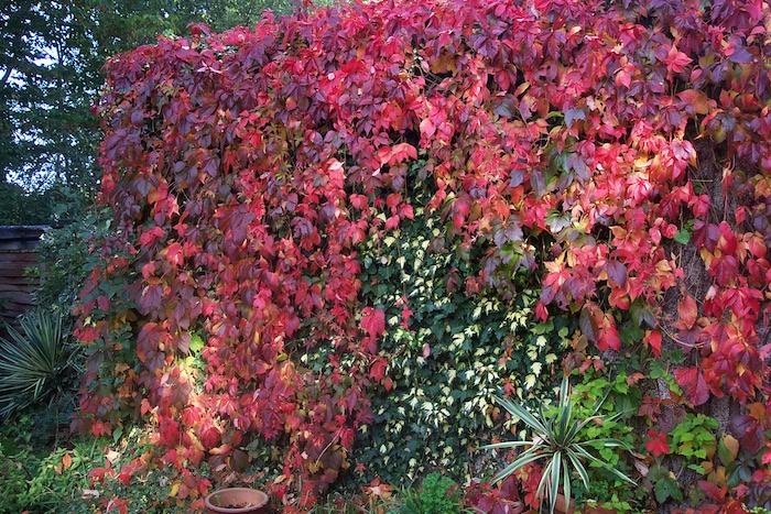 zaun aus vielen roten und grünen blättern und pflanzen, wilder wein pflanze mit roten pflanzen im herbst, sichtschutz garten ideen