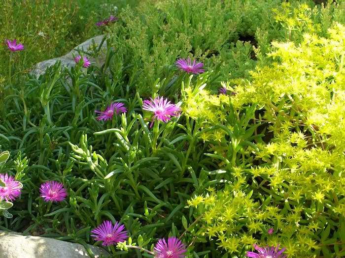 steingarten mit vielen kleinen violetten blumen mit grünen blättern und mit grauen kleinen steinen, gartengestaltung mit steinen und pflanzen ideen