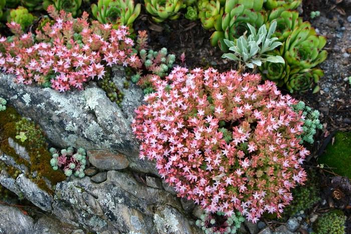 viele kleine violette blumen und sukkulenten pflanzen für steingarten mit grauen steinen, einen steingarten anlegen anleitung